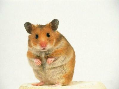 pet_hamster_66517-800x600.jpg